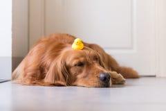 Golden Retriever kłamać na ziemi Zdjęcia Royalty Free