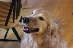 Golden retriever-Lächeln Stockfotos