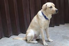 Golden Retriever Labrador Stock Photography