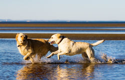 Golden retriever and labrador on the beach Royalty Free Stock Photos