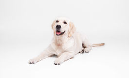 Golden retriever labrador dog on the floor Royalty Free Stock Photo