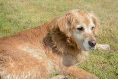 Golden retriever. Labrador dog lying on the grass Stock Photography