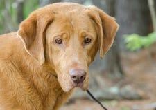 Golden Retriever Labrador Gemischter Zucht Hund Stockfoto Bild Von