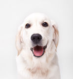 Golden retriever-Labrador-Hund Stockfoto