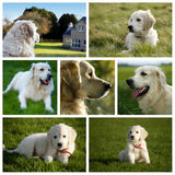 Golden retriever-Labrador-Hund Lizenzfreie Stockfotos