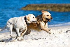 Golden retriever and lagrador on the beach Stock Photo