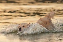 Golden retriever on the lake Stock Photo