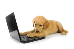 A Golden Retriever with a laptop isolated on white background, c Royalty Free Stock Photography