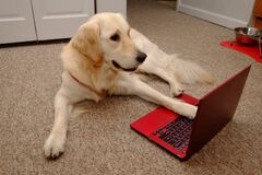 Golden Retriever On The Laptop