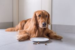 Golden Retriever, lay on the floor to eat dog food. Indoor shooting stock photo