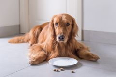 Golden Retriever, lay on the floor to eat dog food. Indoor shooting royalty free stock photo