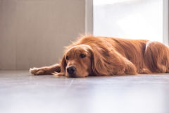 The golden retriever lay prone on the ground. ,indoor shooting Stock Image