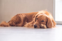 The golden retriever lay prone on the ground. Indoor shooting Stock Photo