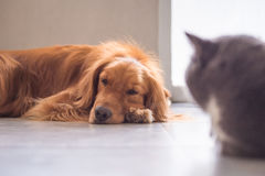 The golden retriever lay prone on the ground. Indoor shooting Royalty Free Stock Photography