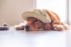 The golden retriever lay prone on the ground. Indoor shooting Stock Photos