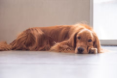 The golden retriever lay prone on the ground. Indoor shooting,indoor shooting Royalty Free Stock Photos