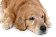 Golden retriever laying Stock Photography