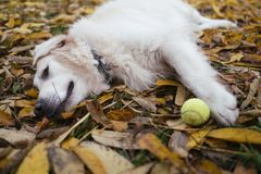 Golden retriever laying in the autumn park, resting after game stock image