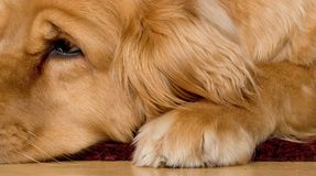 Golden Retriever laying down Stock Photography