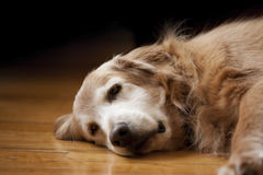 Golden Retriever laying down Royalty Free Stock Image