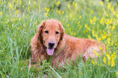 Golden retriever laying in wild flowers Royalty Free Stock Photo
