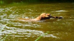 Golden retriever - le chien nage dans l'étang Le chien joue avec la branche et apprécie l'eau froide banque de vidéos