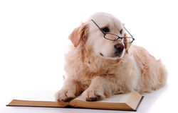 Golden retriever learning Stock Images