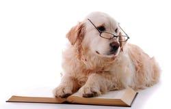 Golden retriever learning Stock Images