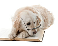 Golden retriever learning Royalty Free Stock Photography