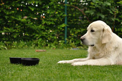 Golden retriever lie on grass. Golden retriever lie on garden grass Royalty Free Stock Photo