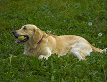 Golden Retriever Lies On The Grass Royalty Free Stock Images