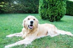Golden retriever lindo que pone en la tierra en un día de verano caliente Imagenes de archivo