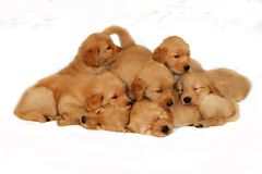 Golden retriever litter. Group of golden retriever puppies on top of each other Stock Photography