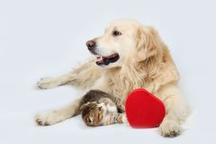 Golden Retriever and a small kitten lying with a red heart on a gray background. A Golden Retriever and a little kitten lie with a red heart in the Studio Stock Images