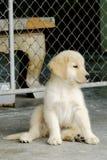 Golden retriever. Little pet GoldenRetriever sitdown Stock Photos