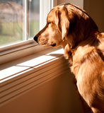 Golden Retriever Looking Out A Window Stock Image