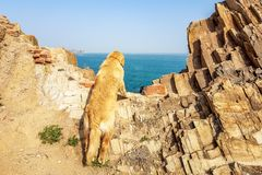 Golden retriever looking at the sea, Qingdao, China royalty free stock photos