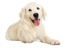 Golden Retriever looking Royalty Free Stock Photography