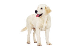 Golden Retriever looking Royalty Free Stock Images