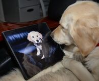 Golden Retriever Looks at Her Own Portrait
