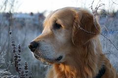 Golden Retriever looks to the side, his head royalty free stock photos