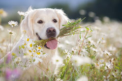 Golden Retriever in a lush mountain meadow. Closeup portrait of young beautiful dog breed Golden Retriever,kind brown eyes,pink tongue,holding in teeth a bouquet stock images
