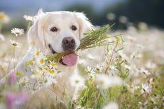 Golden Retriever in a lush mountain meadow Stock Images