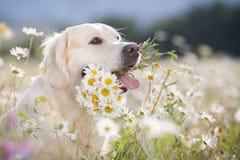 Golden Retriever in a lush mountain meadow Royalty Free Stock Image