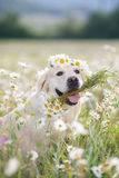 Golden Retriever in a lush mountain meadow Royalty Free Stock Images