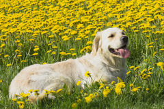 Golden Retriever lying in dandelion meadow Royalty Free Stock Images
