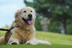 Golden retriever lying down in grass Stock Photography