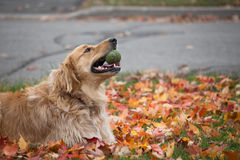 Golden retriever lying on fall leaves Stock Images