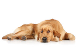 Golden Retriever lying on the floor Royalty Free Stock Image
