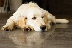 Golden Retriever lying on the floor Royalty Free Stock Photo